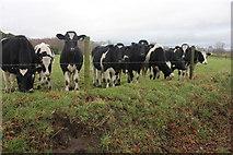 SJ8469 : Hardy heifers by Peter Turner