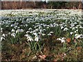 SK6185 : An army of snowdrops at Hodsock by Neil Theasby
