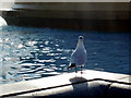 TQ3080 : Seagull, Trafalgar Square, London SW1 by Christine Matthews