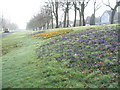 SP3080 : Crocuses on Allesley Hall Drive by E Gammie