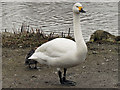 SO7104 : Bewick's Swan by David Dixon