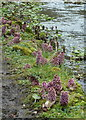 SK1172 : Butterbur on the banks of the River Wye by Andrew Hill