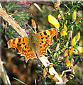 TM3498 : Comma butterfly (Polygonia c-album) on gorse by Evelyn Simak