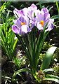 NZ3469 : Purple Crocus by Christine Westerback