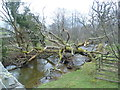NY1420 : Fallen Tree, Church Beck by Michael Graham