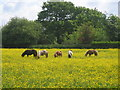 SJ8880 : Buttercup heaven for Shetland ponies by Peter Turner