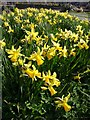 TQ2675 : Daffodils, Wandsworth by Derek Harper