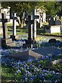 TQ2577 : Chionodoxa at Brompton Cemetery by Derek Harper