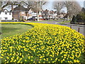 TQ1765 : Daffodils, Kelvin Grove by Colin Smith