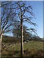 SH7850 : Dead tree Penmachno by Richard Hoare