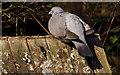 J4774 : Wood pigeon, Kiltonga, Newtownards by Albert Bridge