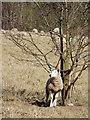 SO7492 : Sheep grazing east of Bridgnorth, Shropshire : Week 13