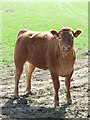 TL9634 : Young Cow by Keith Evans