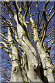 NT5627 : A beech tree near Whinfield by Walter Baxter