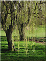SO7594 : Weeping willows near Roughton, Shropshire by Roger  Kidd