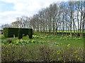 TF4700 : Daffodil garden at Laddus Farm, March Riverside by Richard Humphrey