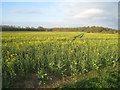 SU5849 : Oilseed rape at Breach Farm by Sebastian Ballard