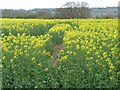 SE3742 : Gappy oilseed rape crop by Christine Johnstone