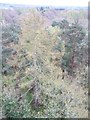 NZ1456 : Larch in Pontburn Woods by Christine Johnstone