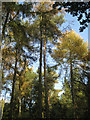 SP1464 : Stand of larch, May's Wood by Robin Stott