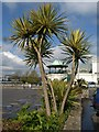 SX9163 : Cabbage tree, Torquay : Week 17