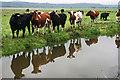 ST3426 : Cattle by Old Sedgemoor Rhyne : Week 18