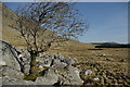 NX4688 : Lone tree on edge of boulder field below eastern slopes of Hoodens Hill by Leslie Barrie
