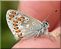 TL3868 : Brown Argus (Aricia agestis) by Keith Edkins