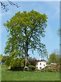 SK0049 : Large tree in the hedgerow by Belmont Hall by Graham Hogg