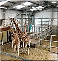SD3335 : Giraffes at Blackpool Zoo by Gerald England
