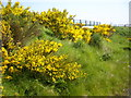 NZ1926 : Gorse in bloom by Stanley Howe