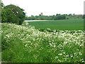 TL5763 : Cowslips beside Cadenham Road by Evelyn Simak