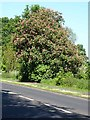 NY9563 : Red horse chestnut by the Corbridge Road by Oliver Dixon