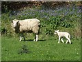 SJ9870 : Riverside grazing beside the Clough Brook or 'Who are you looking at?' by John M