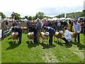 NY9963 : Judging the Texel sheep class, Northumberland County Show, 2012 by Oliver Dixon