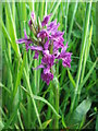 NZ3071 : Northern Marsh Orchid by Christine Westerback