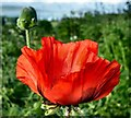 NX4252 : Red Poppy by Andy Farrington