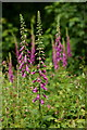 SZ5683 : Common Foxgloves, Apse Heath, Isle of Wight by Peter Trimming