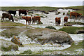 HP6102 : Cattle on the Sandwick links at the Easting by Mike Pennington
