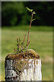 NM9249 : A rowan sapling growing on a post by Walter Baxter
