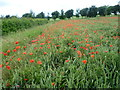 TQ5265 : Field with poppies near Hulberry Farm by Ian Yarham