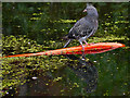 SD7807 : Feral Pigeon on Water by David Dixon