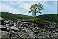 SH6905 : Rowan Tree at Bryn Eglwys, Gwynedd by Peter Trimming