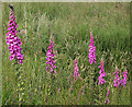 NJ8066 : Foxglove (Digitalis purpurea) by Anne Burgess