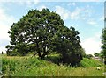 SJ9493 : Oak Tree at Foxholes by Gerald England