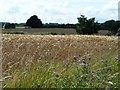 SE3438 : Barley field alongside Whinmoor Lane by Christine Johnstone