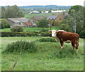 SK7117 : Cow and pasture along Gaddesby Lane by Mat Fascione