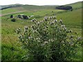NT8518 : Spear Thistle above Kelsocleugh by Andrew Curtis