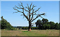 TQ6191 : Dead tree in The Old Park by Roger Jones