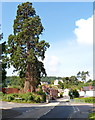 ST7697 : Very tall conifers, Uley Road, Dursley by John Grayson
